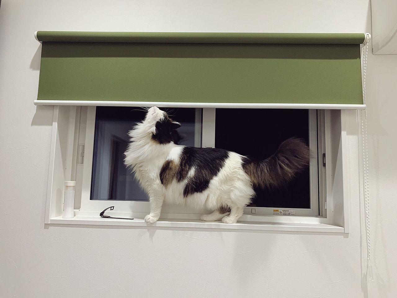 メインクーン 猫 モフモフ