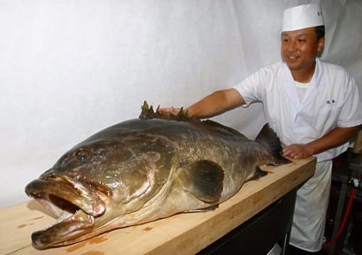 四万十市で食べられる幻の高級魚クエ