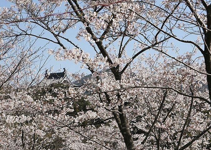 四万十市郷土資料館と桜