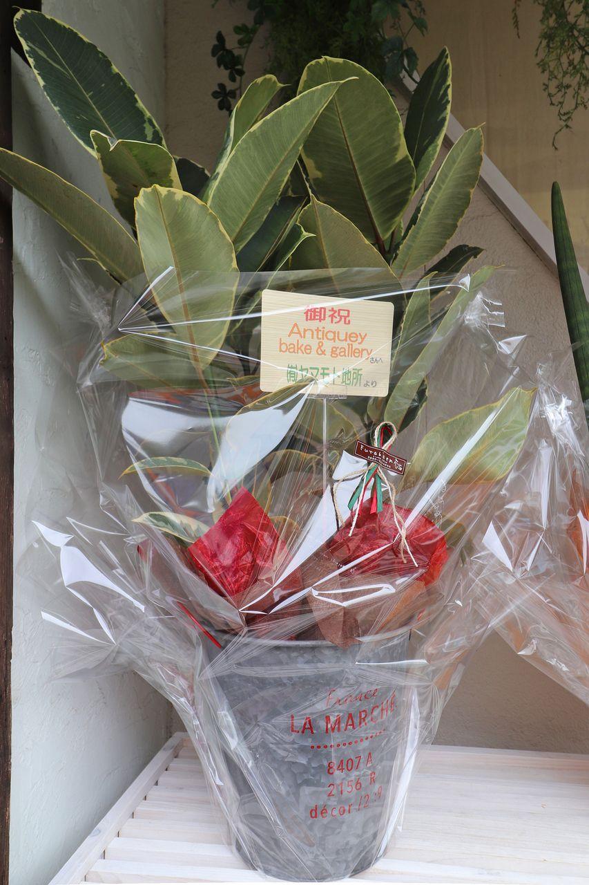 ヤマモト地所からお祝いの観葉植物を贈りました。ゴムの木。